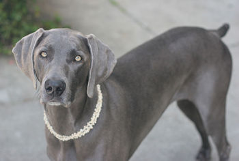 Image result for silver coloured dogs